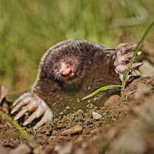 Mole Removal Services