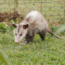 opossum removal services circle