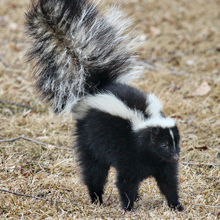 skunk removal services circle
